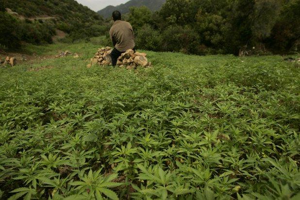 Le gouvernement marocain valide la légalisation de l'usage du cannabis - Algérie