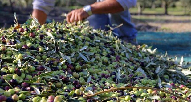 Concours international «Huiles du monde» : Trois huiles d'olive algériennes primées - Algérie