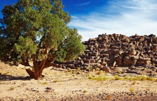 10 صور لشجرة سرو الطاسيلي بالجزائر التي تعدّ إرثا طبيعيا عالميا